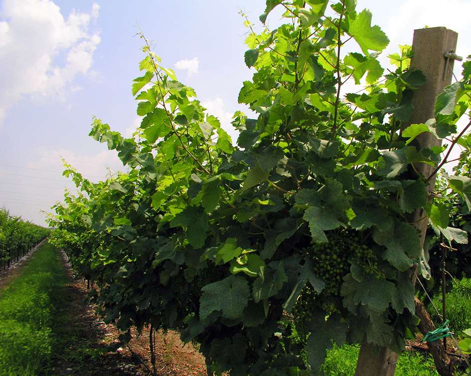 Prosecco Vines - About Treviso B&B Le Tre Corti